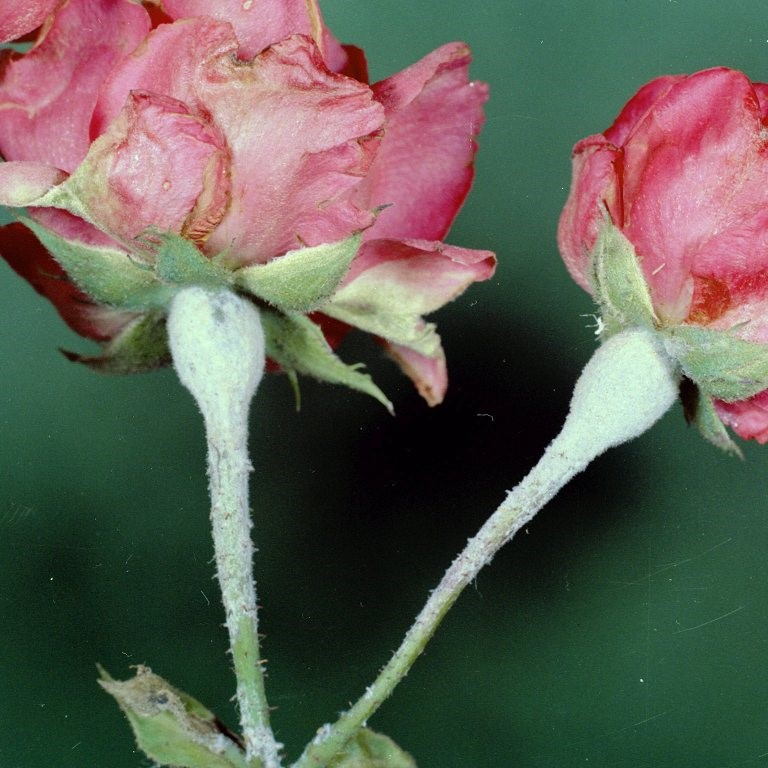 Fact sheet - Rose powdery mildew (387)