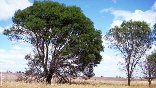 Factsheet Acacia Acuminata
