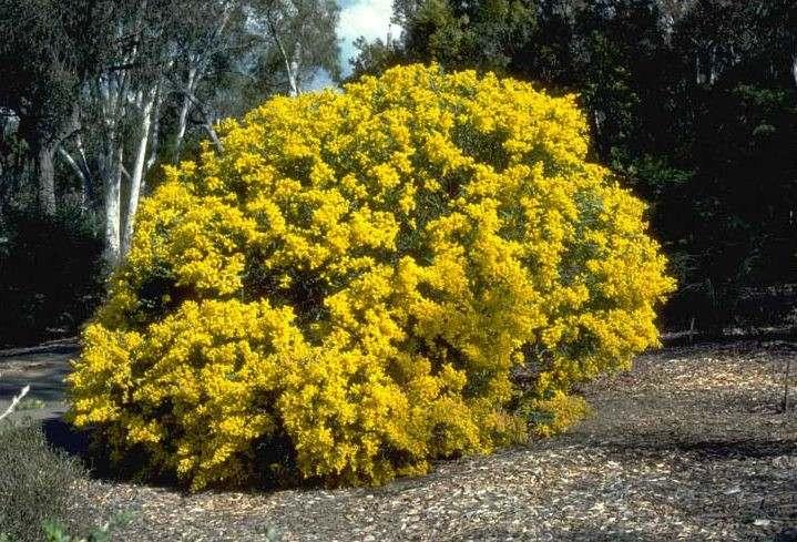 Factsheet Acacia Cultriformis