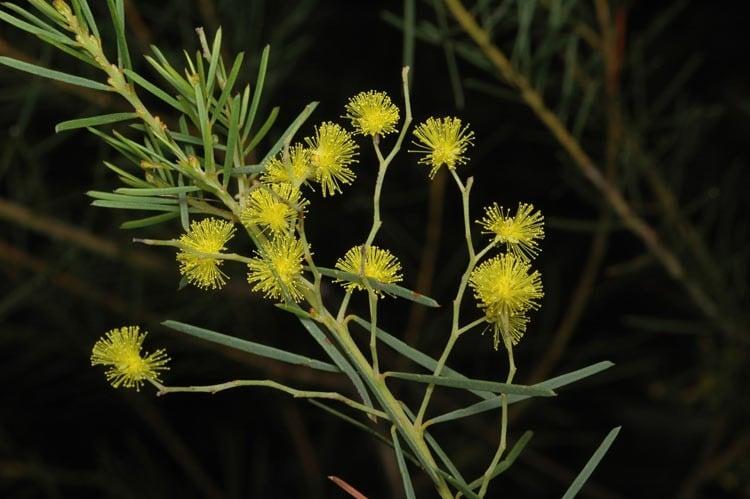 Golden Wattle - Acacia pycnantha - Nurseries Online