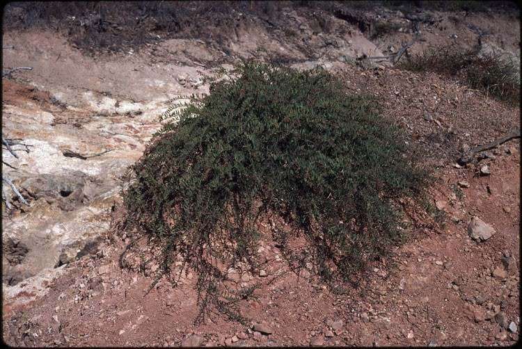 Factsheet - Acacia purpureopetala